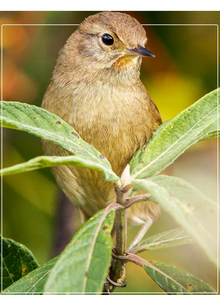Pássaro Garrincha-chorona