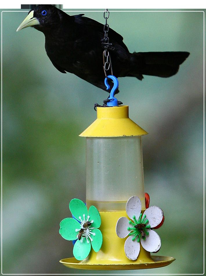 Pássaro Guaxe