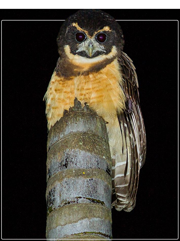 Pássaro Murucututu-de-barriga-amarela