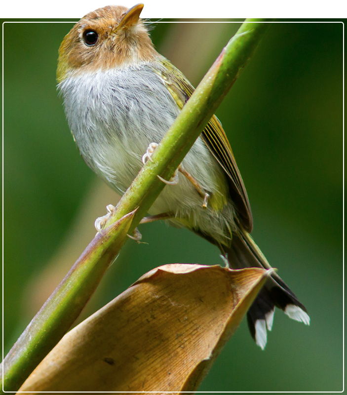 Pássaro Papa-moscas-estrelas